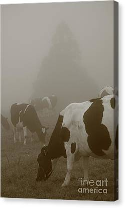Cows In The Mist Canvas Print by Gaspar Avila