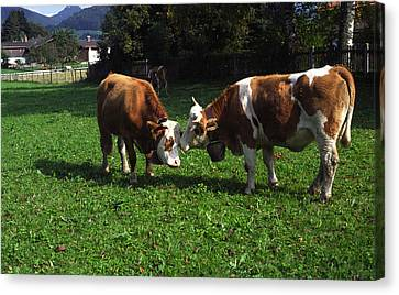 Cows Nuzzling Canvas Print by Sally Weigand