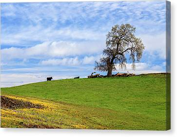 Cows On A Spring Hill Canvas Print by James Eddy