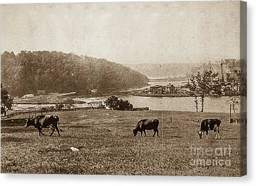 Canvas Print featuring the photograph Cows On Baker Field by Cole Thompson