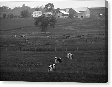 Cows On The Farm Black And White Canvas Print by Dan Sproul