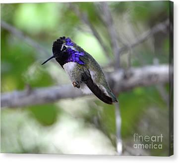 Coy Costa's Hummingbird Canvas Print