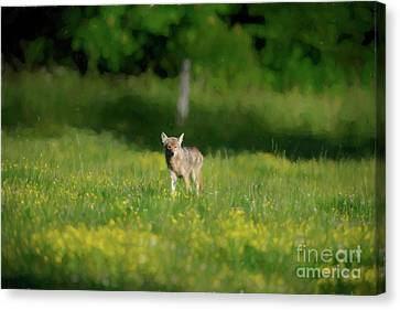 Coyote In Field Walking Forward Canvas Print by Dan Friend