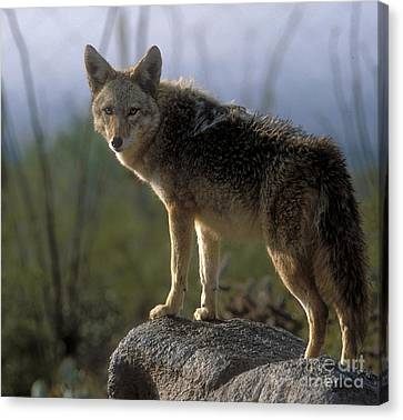 Coyote In Ocotillo Trees Canvas Print by Sandra Bronstein
