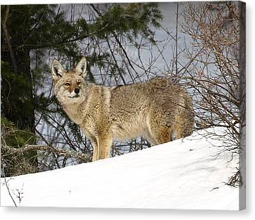 Canvas Print featuring the photograph Coyote In Winter by DeeLon Merritt