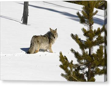 Coyote In Winter Canvas Print