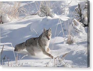 Coyote On The Move Canvas Print