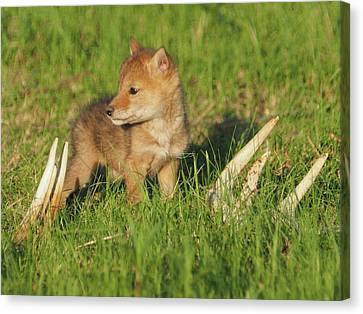 Coyote Pup And Antlers Canvas Print by James Peterson