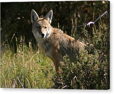Canvas Print featuring the photograph Coyote Resting by Perspective Imagery