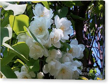 Crab Apple Blossoms 3 Canvas Print by Marjorie Imbeau