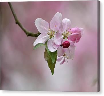 Crab Apple Blossoms Canvas Print by Ann Bridges
