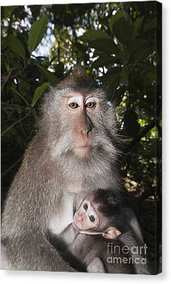 Crab-eating Macaque And Baby Canvas Print
