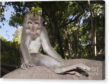Crab-eating Macaque Canvas Print