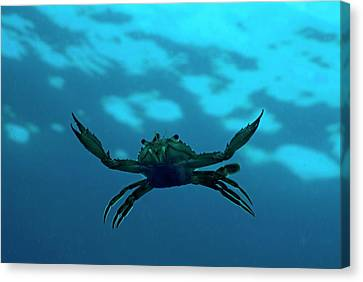 Crab Swimming In The Blue Water Canvas Print by Sami Sarkis