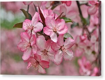 Crabapple Blossoms Canvas Print