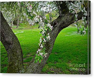 Crabapple Blossoms On A Rainy Spring Day Canvas Print
