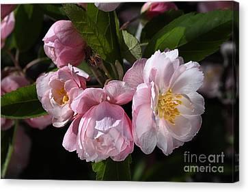 Canvas Print - Crabapple Flowers In Spring by Joy Watson