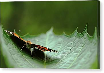 Canvas Print featuring the photograph Cradled Painted Lady by Debbie Oppermann