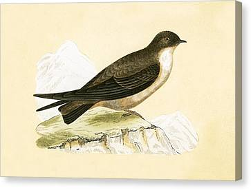 Crag Swallow Canvas Print by English School