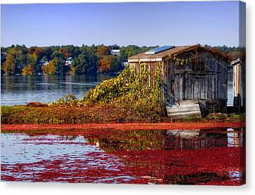 Cranberry Bog Farm II Canvas Print by Gina Cormier
