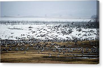 Canvas Print featuring the photograph Crane Dance by Torbjorn Swenelius