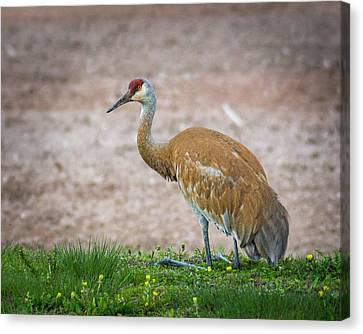 Canvas Print featuring the photograph Crane Down by Bill Pevlor