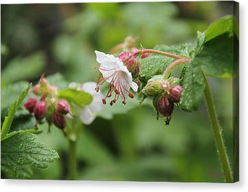Cranesbill Raindrops Canvas Print
