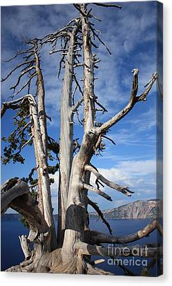 Crater Lake Tree Canvas Print by Carol Groenen