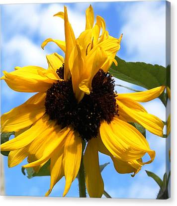 Crazy Sunflower Look Canvas Print by Belinda Lee