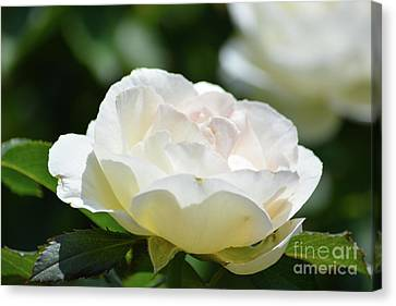 Cream Color Rose  Canvas Print by Ruth Housley