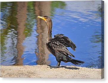 Phalacrocorax Auritus Canvas Print - Creekside Cormorant by Al Powell Photography USA