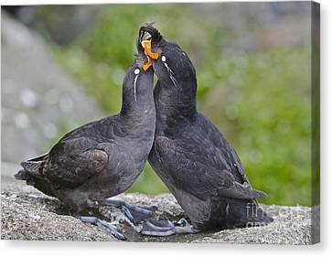 Crested Auklet Pair Canvas Print by Desmond Dugan/FLPA