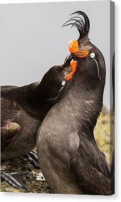 Crested Auklets Canvas Print by Sunil Gopalan