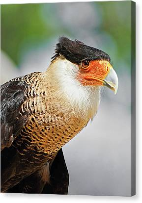 Crested Caracara Canvas Print by Dawn Currie