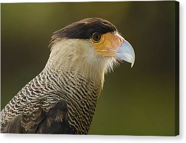 Crested Caracara Polyborus Plancus Canvas Print by Pete Oxford
