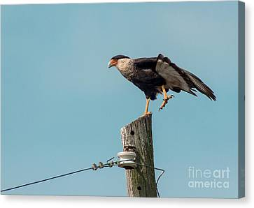 Cabin Window Canvas Print - Crested Caracara by Robert Frederick