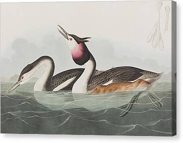 Crested Grebe Canvas Print