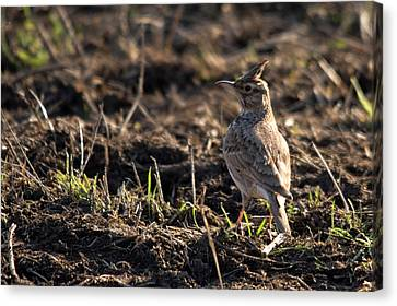 Crested Lark Canvas Print by Cliff Norton