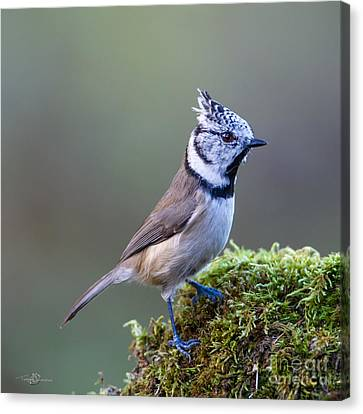 Crested Tit Canvas Print by Torbjorn Swenelius