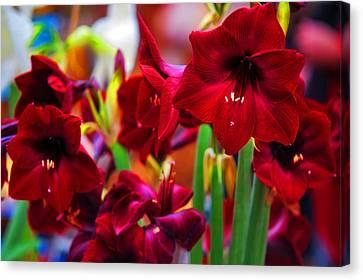 Crimson Amaryllis. Amsterdam Flower Market Canvas Print