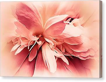 Crimson Ballet Powder Puff Canvas Print by Darlene Kwiatkowski