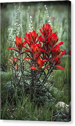 Crimson Red Indian Paintbrush Canvas Print by The Forests Edge Photography - Diane Sandoval