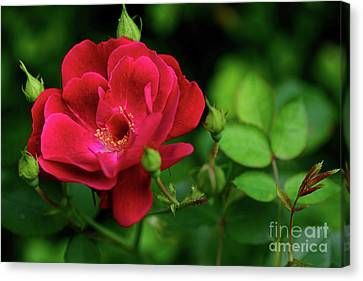 Canvas Print featuring the photograph Crimson Red Rose By Kaye Menner by Kaye Menner