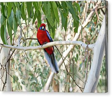 Crimson Rosella 4 - Canberra - Australia Canvas Print