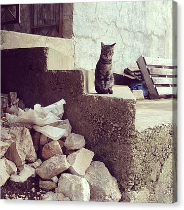 Croatian Cat Canvas Print