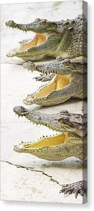 Crocodile Choir Canvas Print by Jorgo Photography - Wall Art Gallery