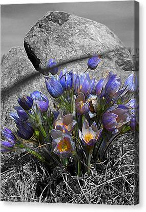 Crocus - Between A Rock And You Canvas Print by Stuart Turnbull