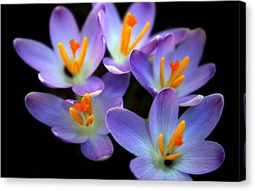 Canvas Print featuring the photograph Crocus Aglow by Jessica Jenney