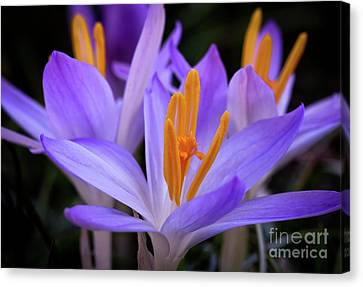 Canvas Print featuring the photograph Crocus Explosion by Douglas Stucky