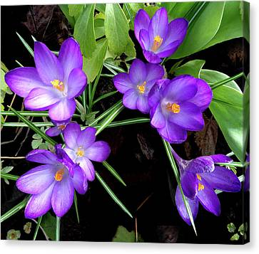 Crocus First To Bloom Canvas Print